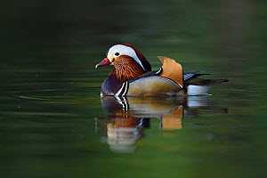 Mandarin duck (Aix galericulata) male swimming on water in the Beijing area, China. May.  -  Staffan Widstrand / Wild Wonders of China