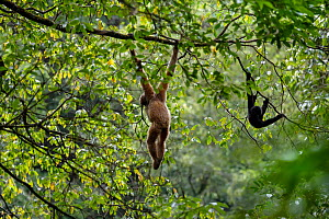 Central Yunnan black crested gibbon (Nomascus concolor jingdongensis), mother and baby hanging in canopy. Wuliangshan Nature Reserve, Jingdong, Yunnan Province, China. - Magnus Lundgren / Wild Wonders of China