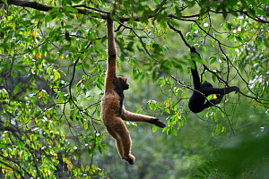 Central Yunnan black crested gibbon (Nomascus concolor jingdongensis), mother and baby swinging in canopy. Wuliangshan Nature Reserve, Jingdong, Yunnan Province, China. - Magnus Lundgren / Wild Wonders of China