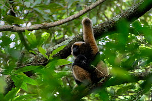 Central Yunnan black crested gibbon (Nomascus concolor jingdongensis), mother and baby sitting in tree. Wuliangshan Nature Reserve, Jingdong, Yunnan Province, China.  -  Magnus Lundgren / Wild Wonders of China