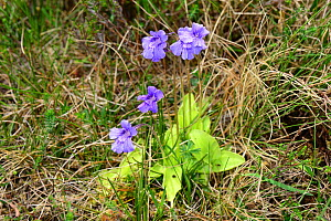 Large-flowered butterwort (Pinguicula grandiflora), MacGillycuddy's Reeks, County Kerry, Republic of Ireland. June.  -  Will Watson