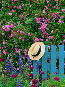 Climbing roses and blue gate with hat, in country garden, Norfolk, England, UK. June.  -  Ernie  Janes
