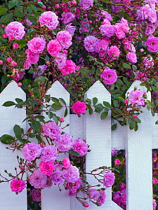 Climbing roses flowering over gate in country garden, Norfolk, England, UK. June.  -  Ernie  Janes