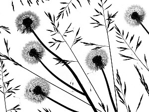 Silhouettes of Dandelion (Taraxacum officinale) seed heads and grasses, England, UK. - Ernie  Janes