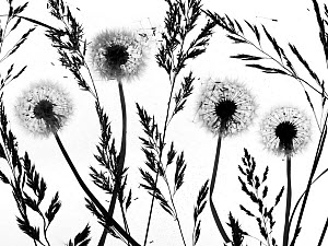 RF - Silhouettes of Dandelion (Taraxacum officinale) seed heads and grasses, England, UK. (This image may be licensed either as rights managed or royalty free.) - Ernie  Janes