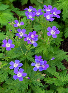 Wood crane's-bill (Geranium sylvaticum) 'Cyrils Fancy' in flower. England, UK, May.  -  Ernie  Janes