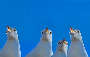 RF - Herring gull (Larus argentatus) with blue sky, England, UK, Digital composite. (This image may be licensed either as rights managed or royalty free.)  -  Ernie  Janes