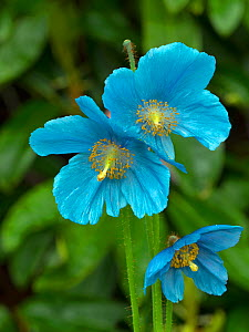 Himalayan blue poppy (Meconopsis betonicifolia) cultivated plant native to Bhutan. - Ernie  Janes
