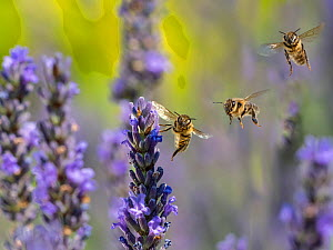RF - Honeybee worker (Apis mellifera) feeding on garden lavender, England, UK, July. Digital compostie. (This image may be licensed either as rights managed or royalty free.) - Ernie  Janes