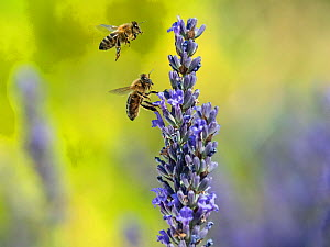 RF - Honeybee worker (Apis mellifera) feeding on garden lavender, England, UK, July. Digital composite. (This image may be licensed either as rights managed or royalty free.)  -  Ernie  Janes