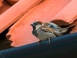 House sparrow (Passer domesticus) in building, Scottish borders, UK, July.  -  Ernie  Janes