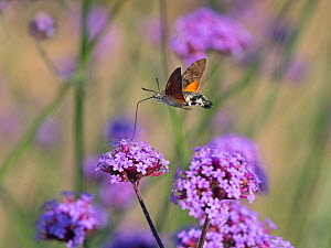 Hummingbird hawk moth (Macroglossum stellatarum) in flight feeding on Verbena flowers, England, UK. July.  -  Ernie  Janes