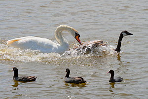 Mute swan (Cygnus olor) attacking Canada goose (Branta canadensis) watched by Coots (Fulica atra) Fleet lagoon, Dorset, England, UK, June. - Ernie  Janes