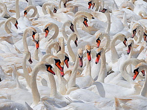 RF - Mute swans (Cygnus olor) flock of non breeding adults, Fleet lagoon Dorset, England, UK, June. (This image may be licensed either as rights managed or royalty free.) - Ernie  Janes