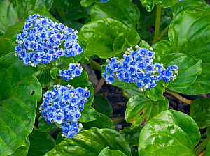 Chatham Island forget-me-not (Myosotidium hortensia) cultivated plant native to New Zealand.  -  Ernie  Janes