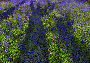 Oak tree (Quercus robur) shadow on Bluebells (Hyacinthoides non-scripta) England, UK, May. - Ernie  Janes