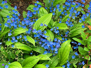 Navelwort (Omphalodes) 'Cherry Ingram' cultivated plant in flower. - Ernie  Janes