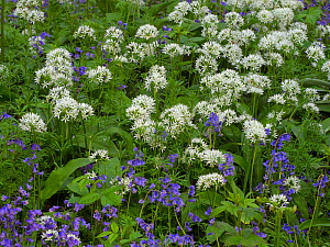 Ramsons (Allium ursinum) growing among bluebells, Norfolk woodland, England, UK, May. - Ernie  Janes