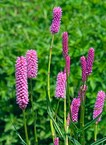 Red bistort (Persicaria) 'Hohe Tatra' cultivated plant.  -  Ernie  Janes