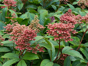 Rodgersia 'Kuppermond' cultivated plant.  -  Ernie  Janes