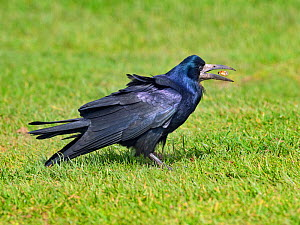 Rook (Corvus frugilegus) feeding in grassland East coast, Norfolk, England, UK, April.  -  Ernie  Janes