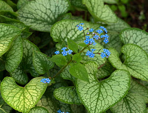 Siberian bugloss (Brunnera macrophylla) 'Blue ice', cultivated plant. - Ernie  Janes