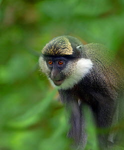 White-throated guenon (Cercopithecus erythrogaster) captive, occurs in Nigeria and Benin. Foliage digitally added. - Ernie  Janes