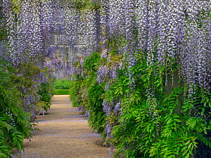 Wisteria growing over arch in flower, Houghton Hall garden, Norfolk, England, UK, May. - Ernie  Janes