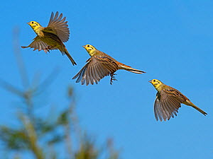 Yellow hammer (Emberiza citinella) flying sequence, England, UK. Digital composite. - Ernie  Janes