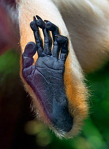 Yellow-cheeked gibbon (Nomascus gabriellae) female, close up of foot against glass. Captive, occurs in Vietnam, Laos, and Cambodia  -  Ernie  Janes