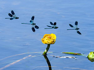 Banded Demoiselle (Calopteryx splendens) flight sequence over Yellow water lily (Nuphar lutea) River Wensum, Norfolk, England, UK, July. Digital composite. - Ernie  Janes