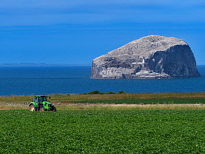 Bass Rock with flocks of gannets (Morus bassanus) viewed from farmland on the Firth of Forth, East Lothian Scotland. UK, July 2018.  -  Ernie  Janes