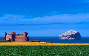 Tantallon Castle, East Lothian, on the Firth of Forth, with Bass Rock and the Gannet (Morus bassanus) colony, in distance, UK, July 2018.  -  Ernie  Janes
