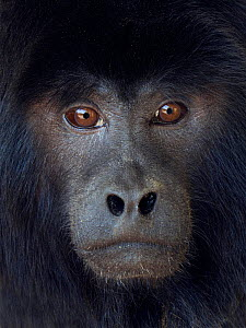 Black howler (Alouatta caraya) captive, occurs in South America.  -  Ernie  Janes