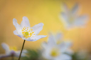 Wood anemone flower (Anemone nemorosa) Devon, UK. April.  -  Ross Hoddinott