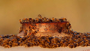Honey bees (Apis mellifera) swarming on an old gas tank and establishing a new nest site within, with some individuals beating their wings to create air circulation, Southern California, USA, February...  -  John Chan