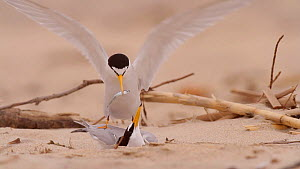 Male California Least Tern (Sternula antillarum browni) courting a female, presenting a fish before chasing off another male, Huntington Beach, California, USA, May. - John Chan