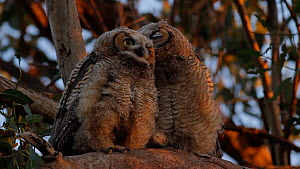 Great horned owl (Bubo virginianus) fledglings waiting for parents to return with food, one pecking the other, Bolsa Chica Ecological Reserve, California, USA, June.  -  John Chan
