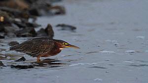Green heron (Butorides virescens) stalking and catching a Topsmelt silverside (Atherinops affinis) on the edge of a tidal flat, Bolsa Chica Ecological Reserve, California, USA, September.  -  John Chan