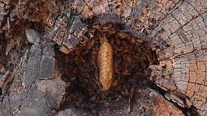 Honey bees (Apis mellifera) gathering at the entrance of their nest in a hollow log, with some returning workers carrying pollen baskets, Bolsa Chica Ecological Reserve, California, USA, October.  -  John Chan
