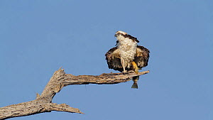 Osprey (Pandion haliaetus) ruffling its feathers, with Spotted bass (Micropterus punctulatus) frish prey in its claws, Bolsa Chica Ecological Reserve, California, USA.  -  John Chan