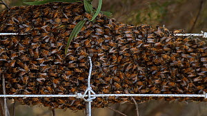 Honey bees (Apis mellifera) swarming on a fence, Southern California, USA, December. - John Chan