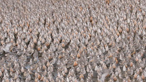 Large flock of Red knot (Calidris canutus) moving at high tide roost, in winter plumage, Snettisham RSPB Reserve, Norfolk, England, UK, September.  -  Chris Gomersall