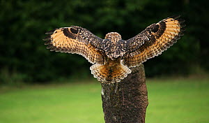 Eurasian eagle owl (Bubo bubo) landing on post, captive, falconry bird. - Oliver Hellowell