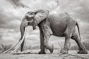 African elephant (Loxodonta africana) female with very large tusks, Tsavo National Park, Kenya.  Highly commended in the GDT European Wildlife Photographer of the Year Awards 2018. Editorial use only.... - Will Burrard-Lucas
