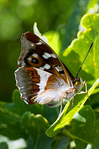 Purple emperor butterfly (Apatura iris ) male on Oak leaf. Knepp Wildland Project, formerly intensive farmland now turned to conservation and sustainable farming. Horsham, West Sussex. England, UK. Ju...  -  David  Woodfall