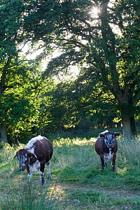 Longhorn cattle in woodland glade, part of rewilding experiment on former farm. Knepp Wildland Project, formerly intensive farmland now turned to conservation and sustainable farming. Horsham, West Su...  -  David  Woodfall