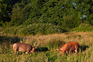 Tamworth pigs grazing meadow in area converted from wheat to sustainable meat production and conservation. Knepp Wildland Project, formerly intensive farmland now turned to conservation and sustainabl...  -  David  Woodfall