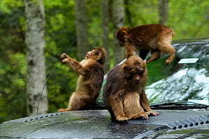 Tibetan macaque (Macaca thibetana) playing on a car, Tangjiahe Nature Reserve, Sichuan Province, China  -  Magnus Lundgren / Wild Wonders of China