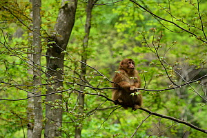 Tibetan macaque (Macaca thibetana) sitting in a tree, Tangjiahe Nature Reserve, Sichuan Province, China  -  Magnus Lundgren / Wild Wonders of China